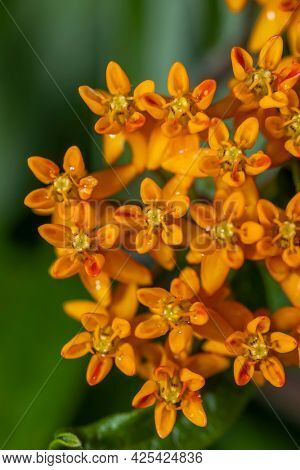 Close up shot of Butterfly weed flowers on plant
