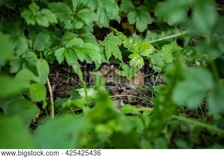 The Little Mouse Is Hiding In The Grass. Concept: Hiding, Afraid