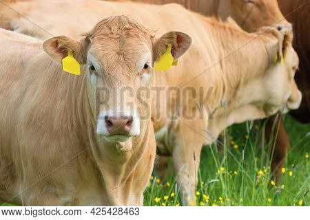 Cow Close Up - Limousin Breed In The Pasture