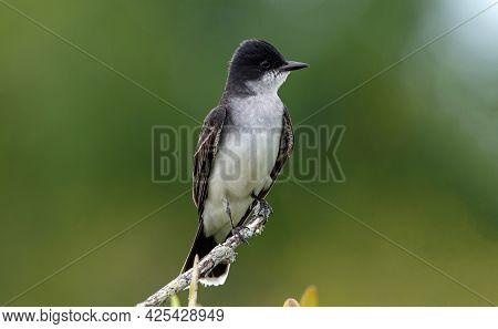 An Eastern Kingbird Perched On A Stick In Merritt Island National Wildlife Refuge.