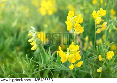 Close Up Of Blooming Yellow Lathyrus Pratensis Wildflower Among Green Grass In Summer Field