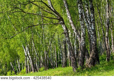 Picturesque Birch Grove On A Bright Summer Day, Trees On A Green Slope