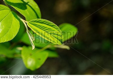 Evergreen Pure Kul Boroy Or Indian Jujube, Indian Plum Chinese Date, Chinee Apple, And Dunks Leaf
