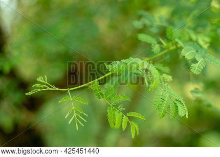 Vachellia Nilotica Is A Flowering Plant Tree In The Family Fabaceae. Gum Arabic Tree, Babul Kikar, E