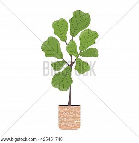 Ficus Lirata In Flower Pot. Green Decoration For Home Interiors. Modern Decor For Home. Houseplant V
