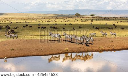 Group of plains zebra, Equus Quagga, on the banks of a water hole in the Masai Mara, Kenya. Animal and sky reflection. Wildebeest can be seen grazing in the background. Annual great migration.
