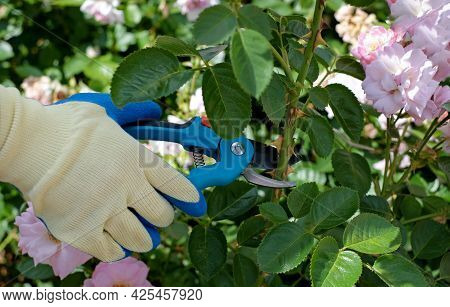Hands With Secateurs Cutting Flowers On Rose Bush, Gardening, Hobby