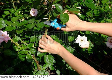 Female Hands With Pruning Shears Cuts A Rose Bush, Seasonal Gardening And Hobby
