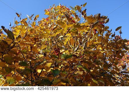 Yellow Leafage Of Sorbus Aria Against Blue Sky In Mid October