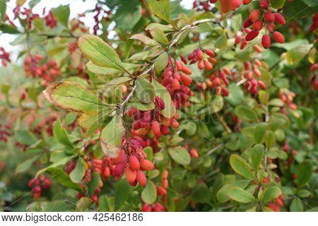 Oblong Red Berries In The Leafage Of Berberis Vulgaris In September