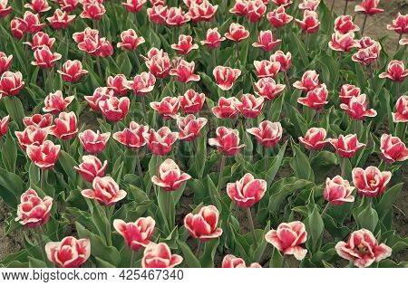 Enjoying Spring Day. Country Of Tulip. Beauty Of Blooming Field. Famous Tulips Festival. Nature Back