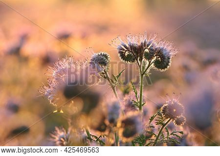 Lacy phacelia flower field Nature sunset sunrise flower Nature background Nature flower Nature background flower meadow Nature flower Nature morning flower Nature background flower Nature outdoor Nature flower Nature flower meadow Nature flower background
