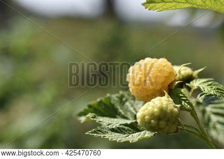 Yellow Raspberry Berry On A Green Bush