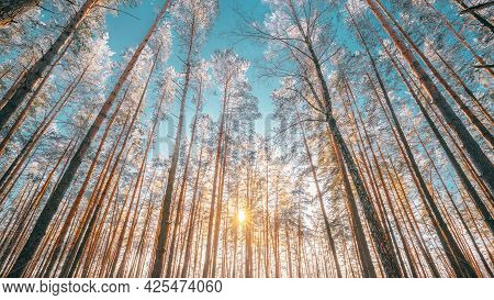 Beautiful Sunset Sunrise Sun Sunshine In Sunny Winter Snowy Coniferous Forest. Sunlight Through Wood