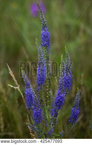 Flowers Veronica Long-leaved Blairizin In The Field In Summer