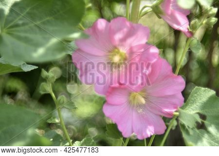 Pink Mallow Flowers In The Garden In Summer