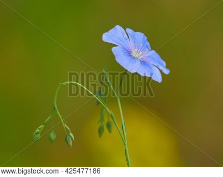 Linum usitatissimum or common flax flower, linseed, flaxseed oil crop. Close up of blue flax seed flower
