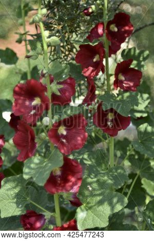 Red Mallow Flowers In The Garden In Summer