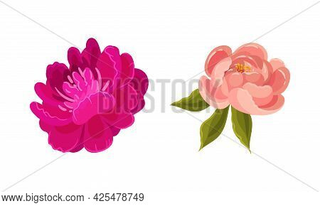 Colorful Peony Flower Buds With Green Leaves And Showy Petals Vector Set