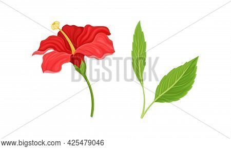 Hibiscus Red Tropical Flower With Large Petals And Green Fibrous Leaf Vector Set