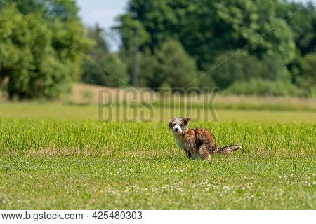 Nice Mixed Breed Dog Pooping In The Grass On A Sunny Summer Day