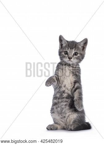 Cute Grey Farm Cat Kitten, Standing On Hind Paws Like Meerkat. Looking Towards Camera. Isolated On W