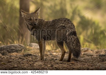 Grey Fox - Pampas Fox In A Natural Environment. Lycalopex Gymnocercus  Fox Very Common In Rural Plac