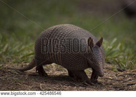 Little Herbivorous Mammal Called Commonly Mulita, Peludo, Quirquincho, Armadillo, Tatú -scientific N