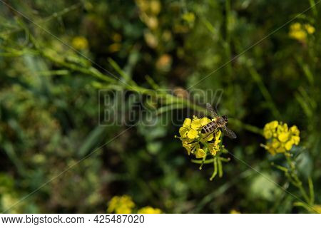Top View On The Honey Bee, That Sits On The Yellow Flower, Pollinates It And Collects Nectar. Beauti