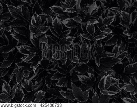 Background Of Leaves Of The Plant Named Runny Variegated Colored In Black. Top View.