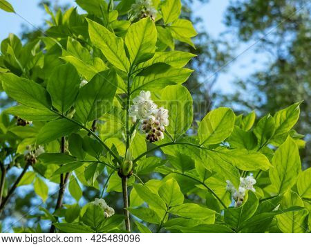 Small, White, Bell-shaped, Fragrant Buds And Flowers Of The European Bladdernut (staphylea Pinnata)a