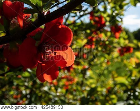 Closeup Macro Shot Of Orange Quince (cydonia) Flowers And Buds On Branches Of Bush Surrounded With G