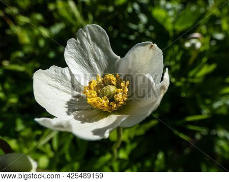 Macro Shot Of Cup-shaped, Pure White Flower Of Snowdrop Anemone Or Snowdrop Windflower (anemone Sylv