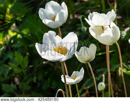 Group Of Cup-shaped, Pure White Flowers Of Snowdrop Anemone Or Snowdrop Windflower (anemone Sylvestr