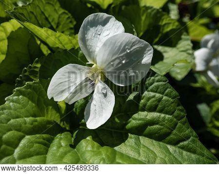 Macro Shot Of White Form Of Flower Of Common Blue Violet Or Common Meadow Violet (viola Sororia) Amo