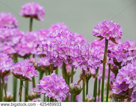 Beautiful Pink Floral Background. Macro Shot Of Bright Pink Flowers Of The Thrift, Sea Thrift Or Sea