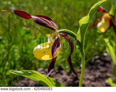 Rare And Beautiful Lady's-slipper Orchid (cypripedium Calceolus) With Red-brown, Long, Twisted Petal