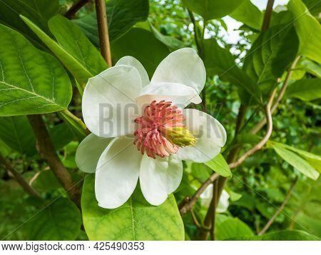 Macro Shot Of Cup Shaped Siebold\'s Magnolia Or Korean Mountain Magnolia And Oyama Magnolia (magnoli