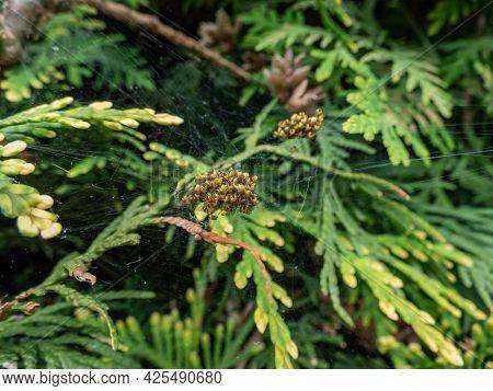 Macro Shot Of Tiny Yellow Spiderlings Of European Garden Spider, Diadem Spider, Orangie, Cross Spide