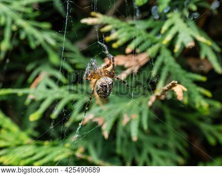 European Garden Spider, Cross Orb-weaver (araneus Diadematus) Showing The White Markings Across The