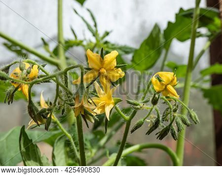 Macro Shot Of Yellow Flower In Full Bloom Of Tomato Plant Growing On Tomato Plant Before Beginning T