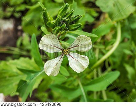 Close-up Shot Of Leaf Vegetable Rocket Or Arugula (eruca Sativa Or Eruca Vesicaria) Creamy White Flo
