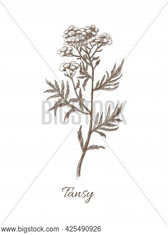 Medicinal Plant Tansy. Hand Drawn Illustration Of Flower In Vintage Style. Botanical Sketch Of Herb.