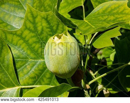 Flowering Tulip Tree (liriodendron Tulipifera). Macro Shot Of Flower Bud Among Green Leaves
