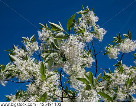 Close-up Of Small Tree The White Fringetree (chionanthus Virginicus) With Richly-scented, Pure White