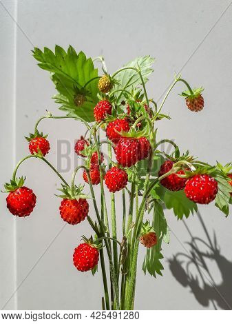 Bouquet Of Wild Strawberry (fragaria Vesca) Plants With Red Ripe Fruits And Foliage Outdoors With Wh