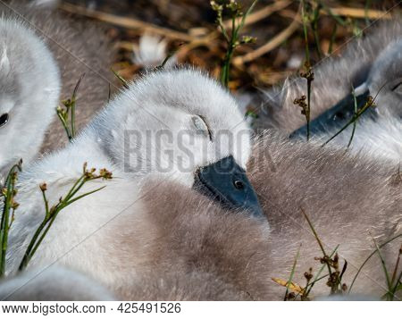 Close Up Of A Beautiful, Fluffy Mute Swan Cygnet (cygnus Olor) Sleeping Among Others Near The Pond I
