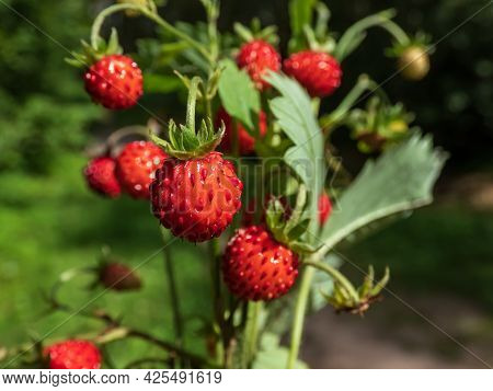 Macro Shot Of Single Wild Strawberry (fragaria Vesca) In Bouquet Of Wild Strawberry Plants And Folia