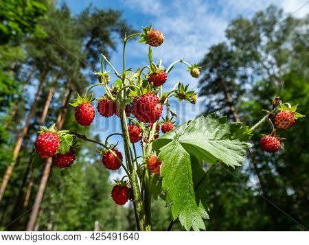 Bouquet Of Wild Strawberry (fragaria Vesca) Plants With Red Ripe Fruits And Foliage Outdoors With Fo