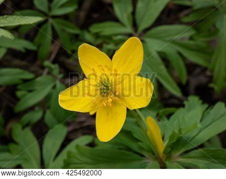 Macro Of Single Flower Yellow Anemone, Yellow Wood Anemone, Or Buttercup Anemone (anemone Ranunculoi